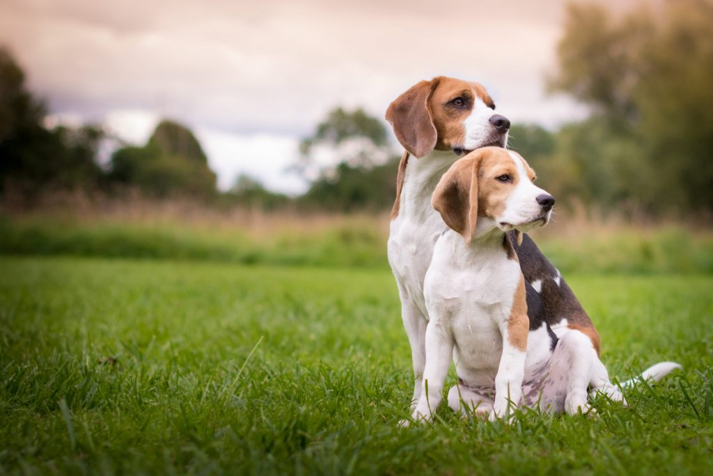 Healthy Beagle Dog